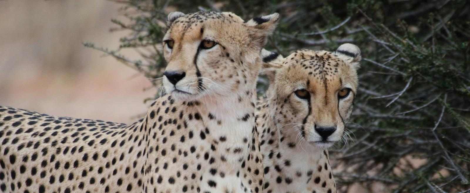 This picture shows two male cheetahs focused but resting in the shade and was taken on one of our wildlife conservation volunteer opportunities in Botswana.
